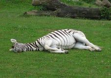 Zebra que é em repouso Fotografia de Stock Royalty Free