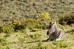 Zebra que encontra-se e que trava algum sol Foto de Stock