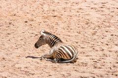 Zebra que encontra-se na terra que descansa em um dia ensolarado quente foto de stock