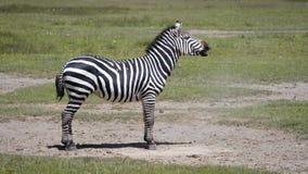 A zebra que encontra-se na terra empoeirada então levanta-se e começa-se rir vídeos de arquivo