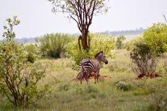 Zebra que encontra-se no savana Imagens de Stock Royalty Free
