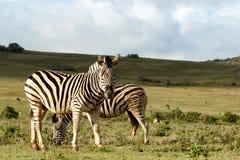 Zebra que está e que olha fixamente em você Fotografia de Stock Royalty Free