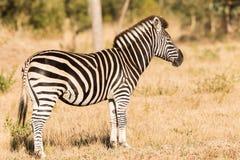 Zebra que está na escova Fotografia de Stock