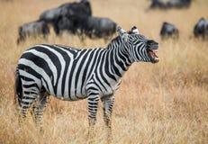 Zebra que está no savana e que boceja kenya tanzânia Parque nacional serengeti Masai Mara fotografia de stock