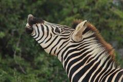 Zebra que faz a cara engraçada e o ronco fotos de stock