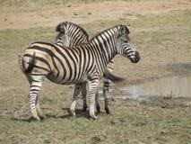 Zebra que levanta para uma foto Imagens de Stock