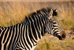 Zebra que olha Imagens de Stock