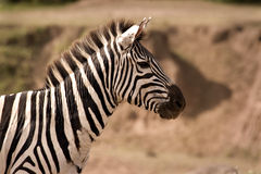 Zebra que olha alerta Fotografia de Stock Royalty Free