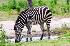 Zebra que pasta Foto de Stock