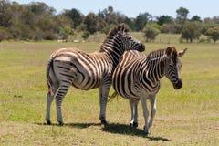 Zebra que pasta Imagem de Stock Royalty Free