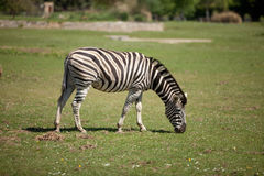Zebra que pasta Foto de Stock Royalty Free