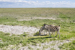 Zebra que pasta Imagens de Stock