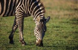 Zebra que pasta na grama verde Fotografia de Stock Royalty Free