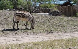 Zebra que pasta perto de uma estrada da trilha de sujeira Fotografia de Stock