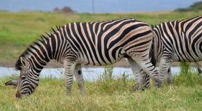 Zebra que pasta perto do Waterhole Fotos de Stock Royalty Free
