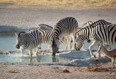 Zebra que tem uma bebida Fotos de Stock