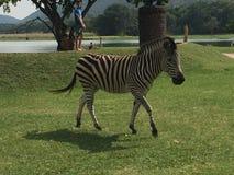 Zebra que trota perto, Kumba Shiri Bird Park, lago Chivero Foto de Stock