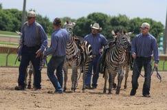 Zebra race Stock Images