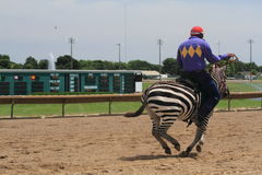 Zebra race Royalty Free Stock Photography