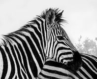 Zebra in the rain Stock Photos