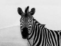 Zebra in the rain Stock Image