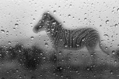 Zebra in the rain trough my window Stock Images