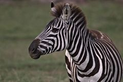 Zebra is ready to fight another royalty free stock image