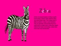 Zebra realistica su un vettore rosa del fondo Fotografia Stock