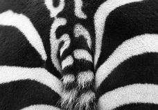 Zebra rear Stock Images