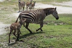 Zebra recém-nascida do bebê que aprende como andar Fotografia de Stock