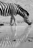 Zebra Reflection. Royalty Free Stock Image