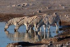 Zebra Reflection In Etosha Namibia Wildlife Safari Royalty Free Stock Image