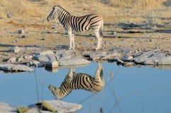 Zebra reflection Royalty Free Stock Photos