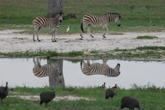 Zebra reflections. A pair of zebras are reflected in a waterhole with guinea fowl in the foreground Royalty Free Stock Photography