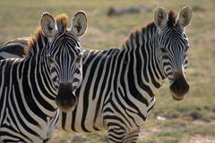 Zebra regards Royalty Free Stock Photo