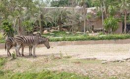 Zebra relax under tree Stock Image