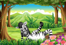 A zebra relaxing in the middle of the forest Stock Image