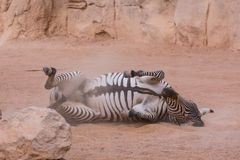 Zebra relaxing Royalty Free Stock Photography