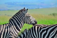 Zebra in a African game reserve. Zebra in a reserve in Africa with a injured ear Stock Photos