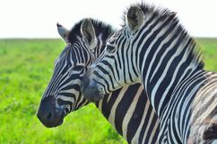 Zebra in a African game reserve. Zebra in a reserve in Africa with a injured ear Royalty Free Stock Photography