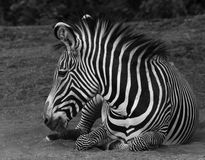 Zebra at Rest Stock Images
