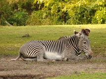 Zebra resting Royalty Free Stock Images