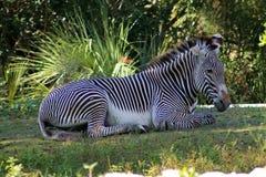 Zebra resting Royalty Free Stock Photos
