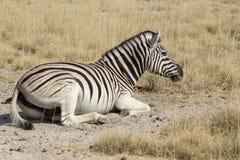 Zebra resting on the ground stock photos