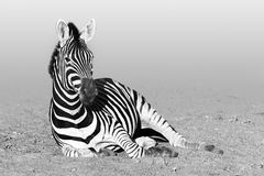 Resting zebra in black and white. Zebra resting after having a refreshing drink in Kruger National Park, South Africa stock photos