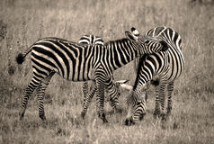 Zebra resting head on friend in sepia Royalty Free Stock Photo