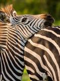 Zebra resting it's head Stock Photo