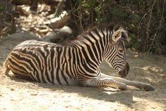 Zebra resting in shade Stock Photo