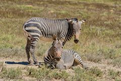 Zebra Resting. In Southern African savanna royalty free stock image