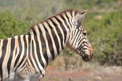 Zebra - retrato Imagem de Stock